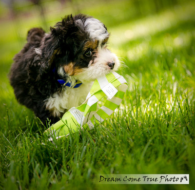 A Dream Photo - Dream Come True Photo - Family Photoshoot with a puppy dog bernedoodle adorable little baby as a fine art portrait playing with a toy
