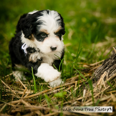 A Dream Photo - Dream Come True Photo - adorable berniedoodle puppy during a family photoshoot outside creating authentic and artistic fine art portraits in Marlboro NJ
